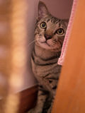 Siamese Cat. Hiding Cat in warm tone Stock Photography