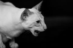 Siamese cat hissing Stock Image