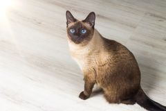 Siamese cat in the house Royalty Free Stock Image
