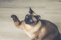 Siamese cat in the house Stock Images