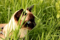 Siamese cat is hunting in the grass stock photos
