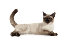 Siamese cat. Isolated over white background Stock Photos