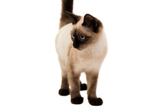 Siamese cat isolated Royalty Free Stock Photos