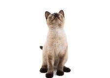 Siamese cat isolated Stock Photos