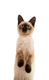 Siamese cat isolated Royalty Free Stock Photo