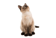 Siamese cat isolated Stock Images
