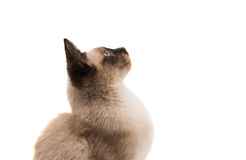 Siamese cat isolated Royalty Free Stock Image