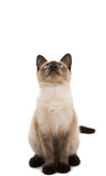 Siamese cat isolated Royalty Free Stock Photography