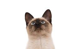 Siamese cat isolated Stock Image