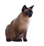 Siamese cat, isolated on white Stock Photo