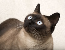 Siamese cat isolatet on a blanket Royalty Free Stock Photography