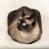 Siamese cat isolatet on a blanket Royalty Free Stock Images