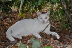 Siamese cat Kaomanee. Or Diamond eye cat royalty free stock image