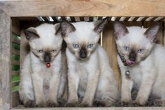 Siamese cat kitten in wood box Royalty Free Stock Image