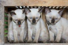 Siamese cat kitten in wood box Stock Photos