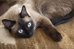 Siamese cat. Laying on a blanket, close-up royalty free stock photos