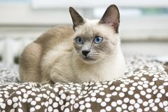 Siamese Cat laying on a comfy bed Stock Images