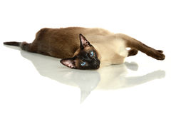 Siamese Cat Laying on Table Stock Photo