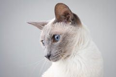 Siamese Cat Left Profile on Gray Stock Images