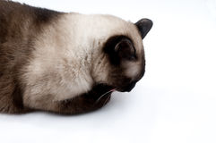 Siamese cat licking. On the hand Stock Photography