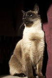 Siamese cat lit by sun. Siamese cat lot by sun with dark and maroon background Royalty Free Stock Photography