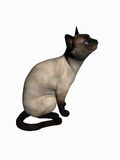 Siamese cat lookiing up, over white. Stock Images