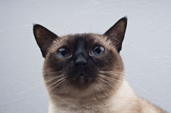 Siamese cat Looking the camera. It's a pet in the home Stock Photo