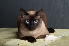 Siamese cat looking at the camera royalty free stock images