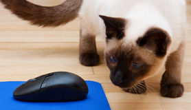 Siamese Cat Looking At Computer Mouse Royalty Free Stock Photo