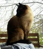 Siamese cat is looking for food royalty free stock image