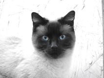 A siamese cat looking straight with bright blue eyes on a white background Stock Photo