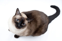 Siamese Cat looking up. The Camera Royalty Free Stock Images