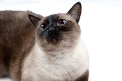 Siamese Cat looking up. The Camera Stock Photography