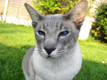 Siamese cat looking at you. A lovely siamese, seal point, looking at you Stock Photo