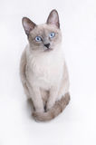 Siamese Cat Looking in Your Eyes. At the white background Royalty Free Stock Photos