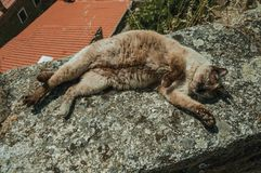 Siamese cat lying asleep on stone parapet. Covered with lichens, in a sunny day at Monsanto. Considered one of the cutest and most peculiar historic village of royalty free stock photos