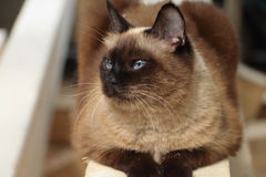 The Siamese cat lying on a board Stock Images
