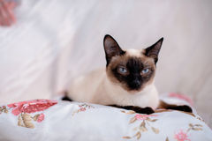 Siamese cat lying Stock Images