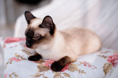 Siamese cat lying Royalty Free Stock Photo