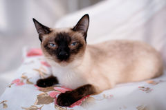 Siamese cat lying Stock Photo