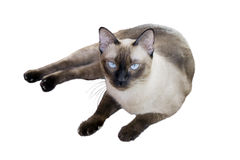 Siamese Cat. A Siamese cat lying on the ground Stock Photo