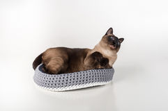 Siamese Cat lying in the handmade basket and looking Up. White background Stock Image