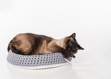 Siamese Cat lying in the handmade basket and playing with rope. White background Stock Images
