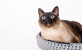 Siamese Cat lying in the handmade basket. White background. Portrait. Looking Up. Royalty Free Stock Photography
