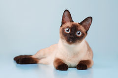 Siamese cat lying and looking at us. Royalty Free Stock Image