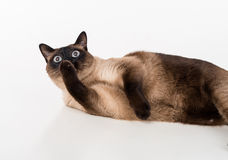 Siamese Cat lying on the white desk and licking leg. White background. Stock Photography