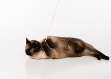 Siamese Cat lying on the white desk and playing with rope. White background. Royalty Free Stock Photography