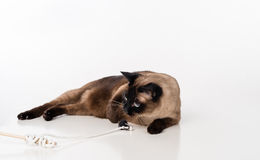 Siamese Cat Lying on the white desk and Playing with rope. White background Stock Photography