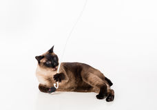 Siamese Cat lying on the white desk and playing with rope. White background. Stock Photo