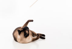 Siamese Cat lying on the white desk and playing with wooden stick. White background. Siamese Cat lying on the white desk Royalty Free Stock Photography